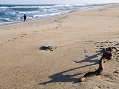 A piece of driftwood casts a long shadow on a winter beach as a man walks along the surf line.