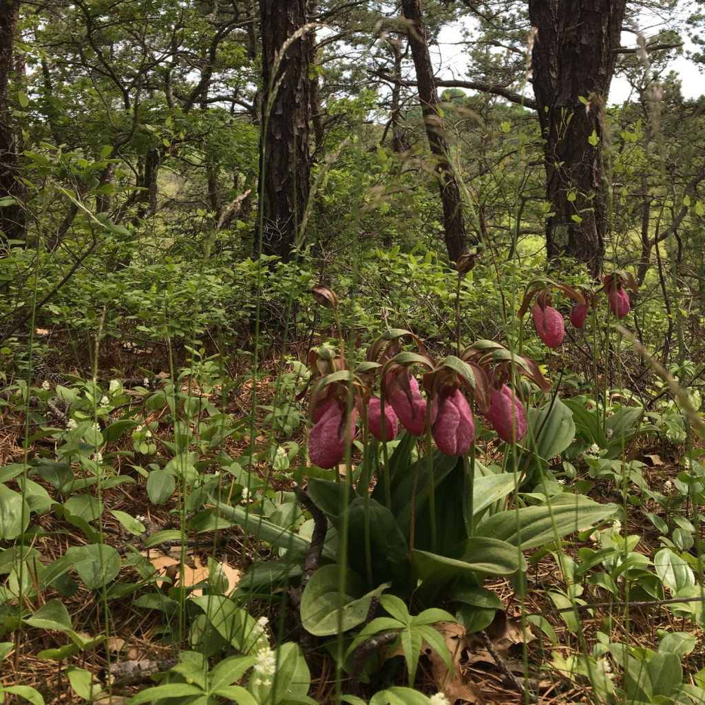 Lady_Slippers_4june2016_sq